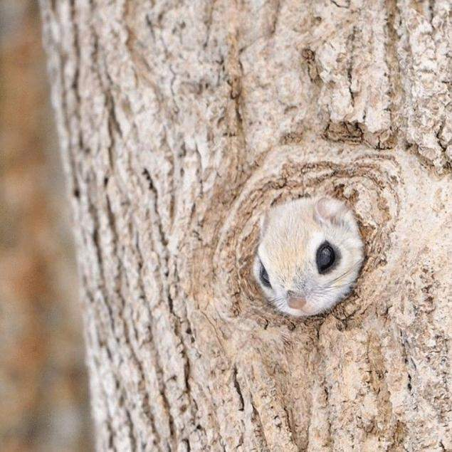 宛如森林中的小精灵萌破天际的小飞鼠