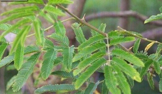 """这是光荚含羞草(学名:Mimosa sepiaria),为豆科含羞草属下的一个种。含羞草科含羞草属 落叶灌木。俗称簕仔树,来头可不小,由美国引入,有""""绿篱之王""""的美称。头状花序球形,洁白芳香,朵朵密集,如雪似絮,蔚为壮观。该种适应性强,生长迅速,在局部地区已成为不可控制的入侵种。花期6~9月。"""