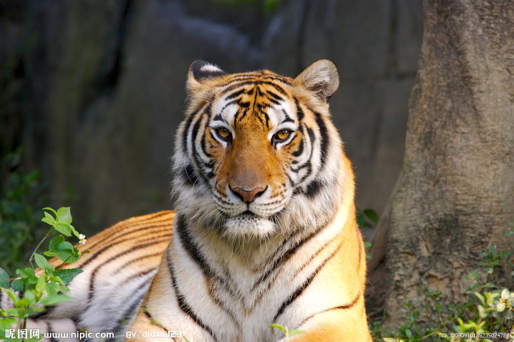 老虎摄影图__野生动物_生物