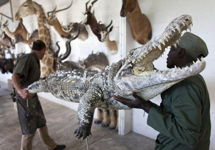 非洲动物标本加工:场面血腥残忍