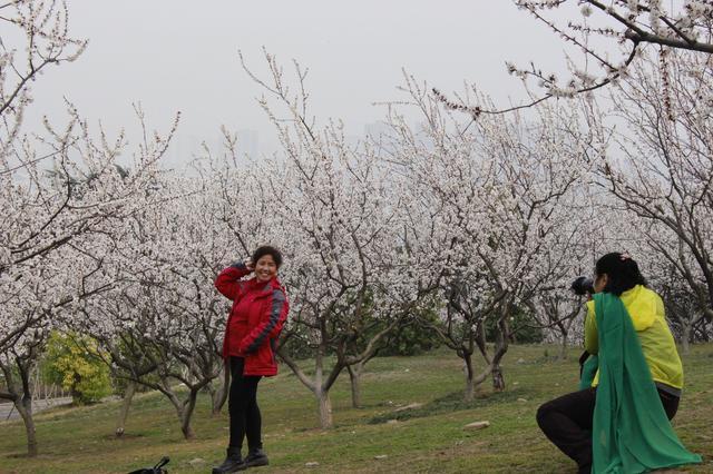 湖东路两岸,万株杏花悄然开放,绵延十里,杏花一色,成为云龙湖风景区一