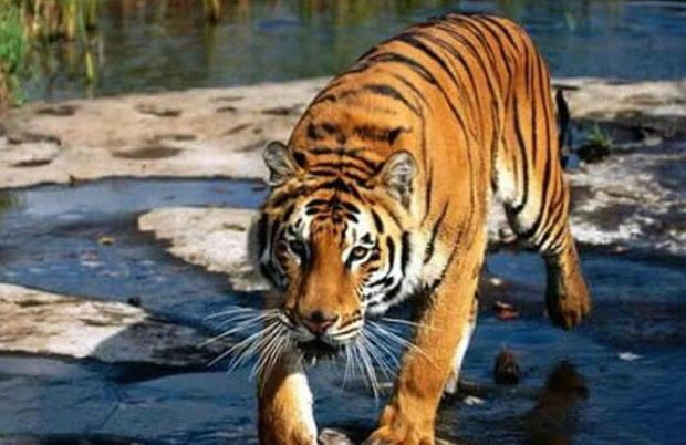 老虎英文怎么雕刻最好看