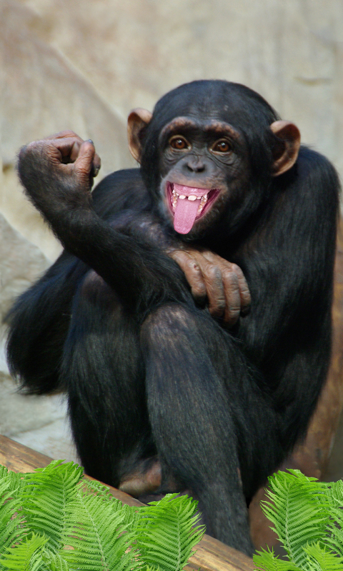 说话的猴子.二合一:可爱的壁纸和有趣的应用程序.