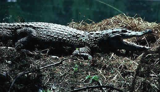 黄帝书苑 鳄鱼分类   3  外貌特征 编辑本段     4  栖息环境 编辑本图片