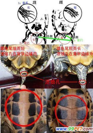 小乌龟怎样分公母要图片最好图片