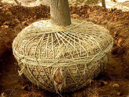 苗木起苗的基本原则:常绿木本植物必须带土球,落叶木本植物适时