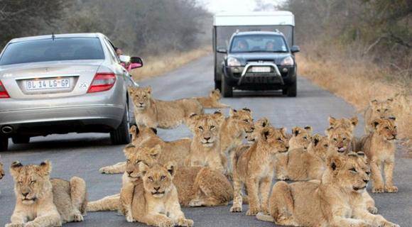 占路为王!南非狮群趴路中间休息阻挡车辆通行