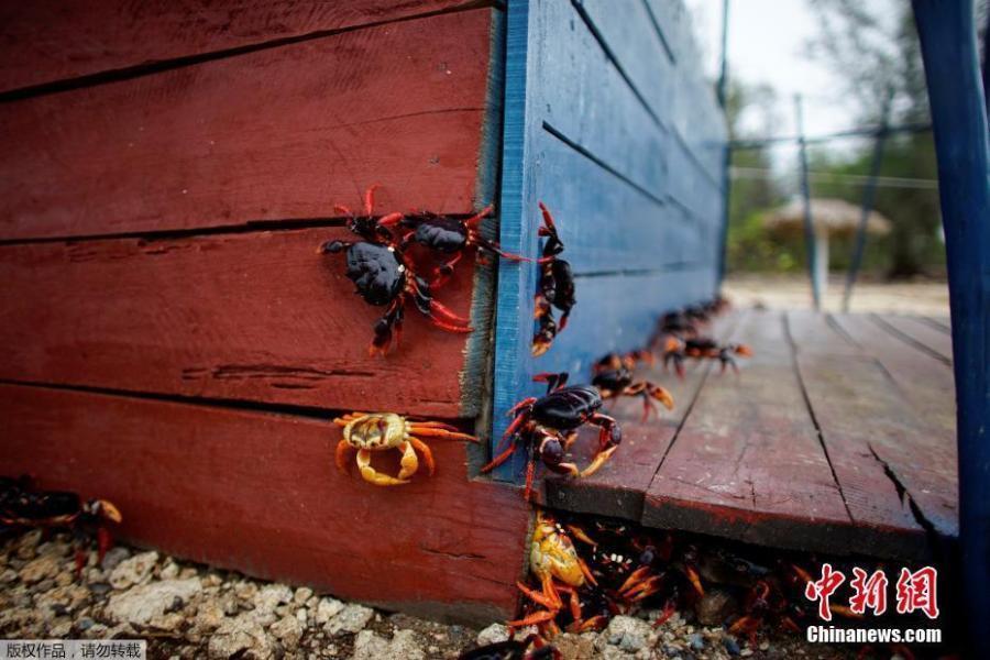 【转】北京时间      大批螃蟹聚集海滩产卵 网友:密集恐惧症犯了! - 妙康居士 - 妙康居士~晴樵雪读的博客
