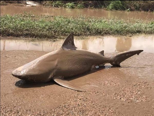 洪水后澳洲内陆惊现鲨鱼 - 如是 - 如是博客