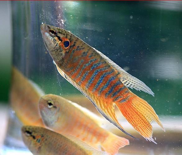 而且偶尔会攻击其他的小型鱼类,因此建议不要将中国斗鱼与体型较小而