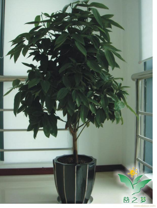 室内盆栽平安树?