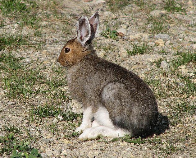 【物种名称】白靴兔 【中文别名】变色兔