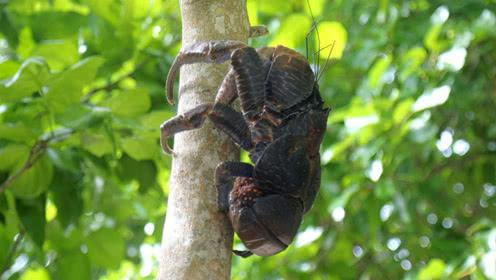 我们的侣行丨揭秘陆地上最大的螃蟹:能爬树,巨钳能轻松夹断人指