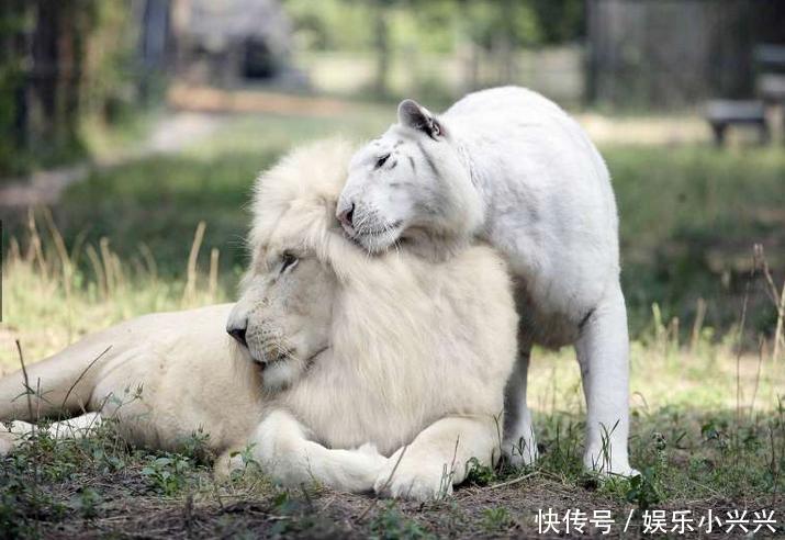 白狮和白虎生下爱情的结晶,旁人却为它们的未来担忧