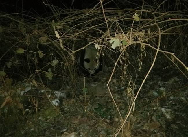 【转】北京时间     四川发现两只野生大熊猫 啃食村民山羊 - 妙康居士 - 妙康居士~晴樵雪读的博客
