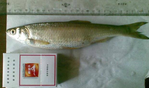 是低海拔常见之鱼类,喜欢群聚栖息于溪