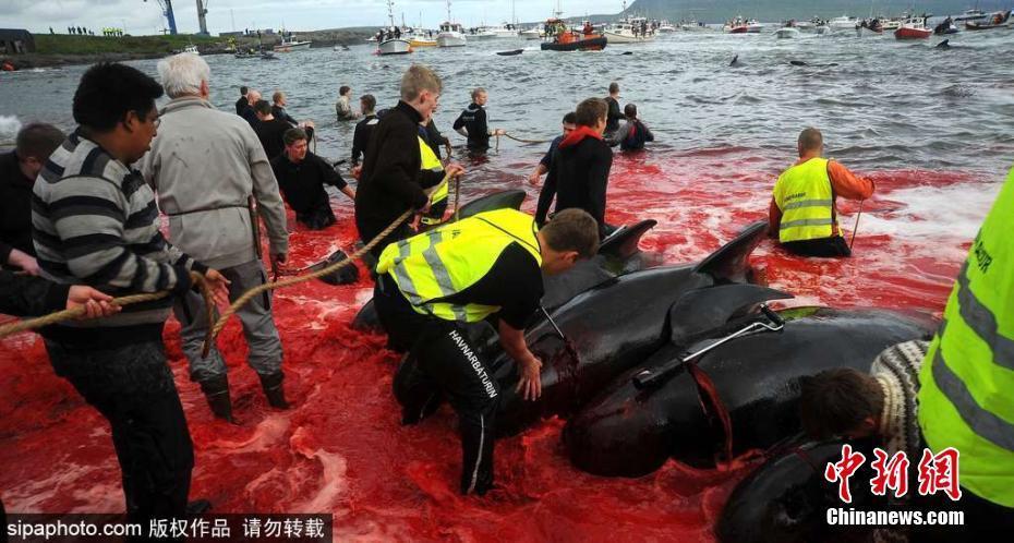 法罗群岛集体捕杀巨头鲸 海水被染红 - 钟儿丫 - 响铃垭人