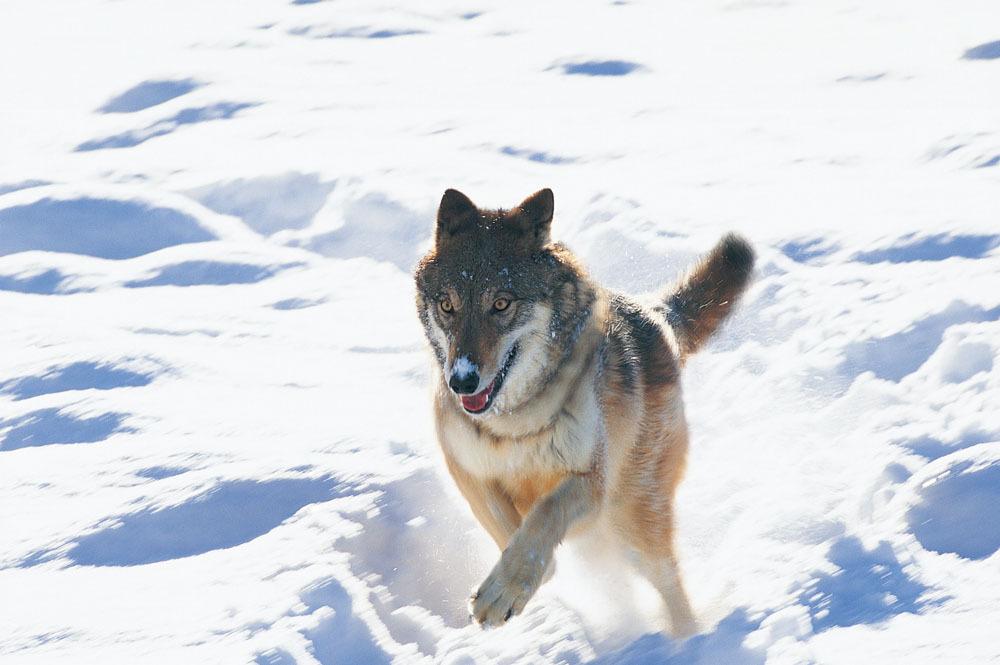 狼奔跑图片素材