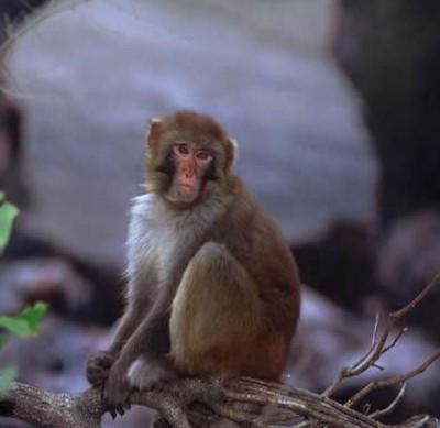 太行山猕猴属于国家二类保护动物,是我国华北地区唯一残留下来的面临