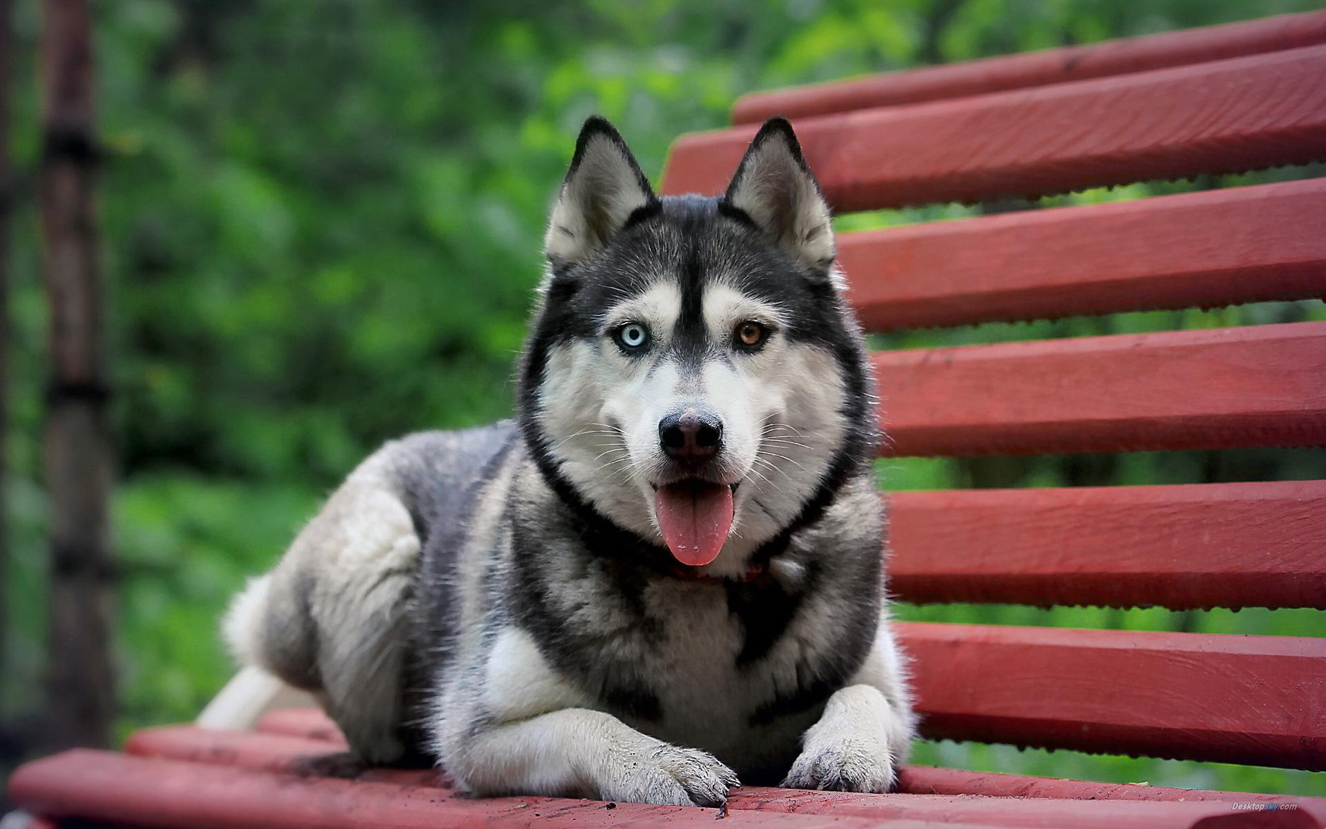 西伯利亚雪橇犬_360百科