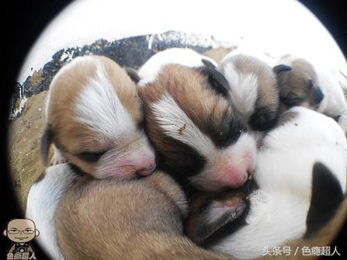 土库曼斯坦的动物:狗仔队