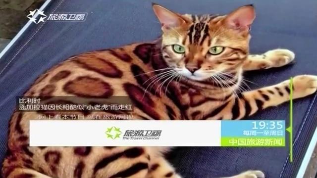 """比利时 孟加拉猫因长相酷似""""小老虎""""而走红"""