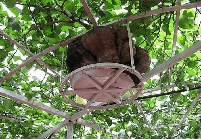 种地瓜红薯也不需要土了,红薯长在空中更高产 - 真光 - 真光 的博客