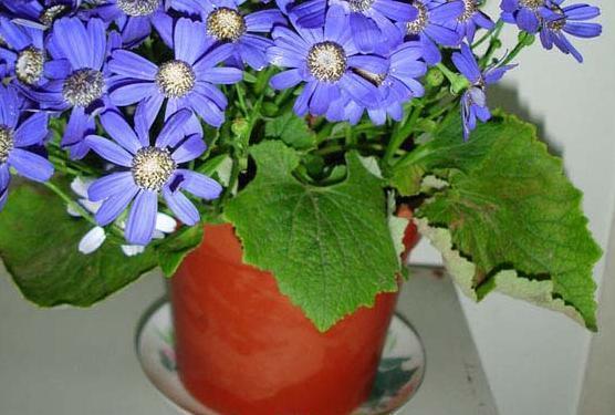 有什么花长得像西瓜叶子?
